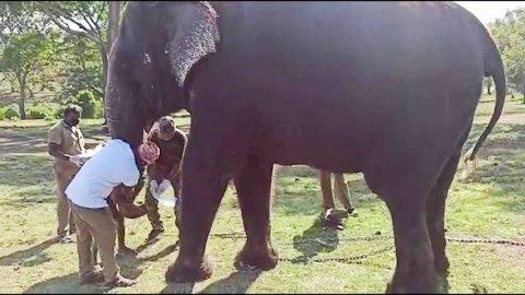 Covid baleega singaa eh maruvumun, 28 Elephant in sample nagai test kuranee